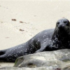 "Thumbnail image for Judge Delays Removal of La Jolla Seals – Could be ""turning point"""