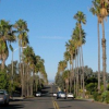 Thumbnail image for San Diego Street Trees:  My Love-Hate Relationship with Palm Trees