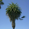 Thumbnail image for The Hitchhikers' Guide to Ocean Beach: Attraction #1- The Sideways Tree