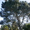 Thumbnail image for Help Locate and Identify Torrey Pines in Ocean Beach and Point Loma