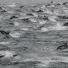 Thumbnail image for Thousands of Dolphins Seen Off Coast of San Diego