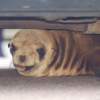 Thumbnail image for Why hundreds of starving sea lion pups are washing ashore in California.