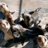 Thumbnail image for Mysterious Sea Lion Die-Off Strikes Again on California Coast