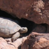 Thumbnail image for Desert tortoises to be slaughtered by their own refuge as BLM closes Vegas rescue center due to budget cuts.