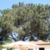 Thumbnail image for Torrey Pine on Orchard Gets a Temporary Reprieve