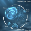 Thumbnail image for Jellyfish In Oceans Are Reaching Problematic Proportions
