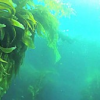 Thumbnail image for Point Loma Kelp Forest to Be Tested for Radiation from Fukushima