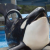 "Thumbnail image for ""The San Diego 10"" – the Captive Orcas of SeaWorld"