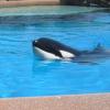 Thumbnail image for PETA Opposes SeaWorld Orca Habitat Expansion at Coastal Commission