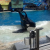 Thumbnail image for SeaWorld San Diego to Build 'Bigger Bathtubs' for Its Killer Whales