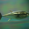 Thumbnail image for California Fish Stories – How Some Seafood Has 'Come back' and How San Diego's Bluefin Tuna 'Is On the Way Out'