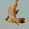 Thumbnail image for Photo Gallery: Tracking a Wandering Peregrine Falcon from Mission Bay