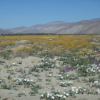 Thumbnail image for 'OB Time' in Borrego Springs: Desert Flowers, Hawks, Caterpillars and 'Sky Art'