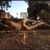 Thumbnail image for Large Tree Cut Down or Fell in Collier Park