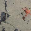 Thumbnail image for Has the Santa Barbara Oil Spill Finally Reached San Diego? Tar Bars at La Jolla.