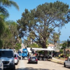 Thumbnail image for OB Planning Board Chair Calls for Work Stoppage on Cutting Down Torrey Pine