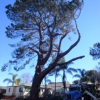 Thumbnail image for 8 Ocean Beach Torrey Pines Designated as Heritage Trees