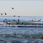 Pelicans surf....
