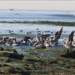 Pelicans take advantage of the low tide