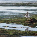 Lone gull on the Pacific shore