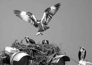 osprey-family-gray