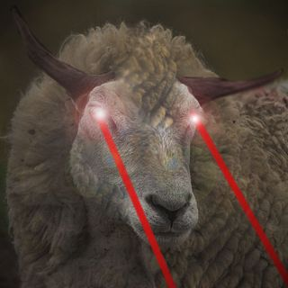 calif primary sheep eyes