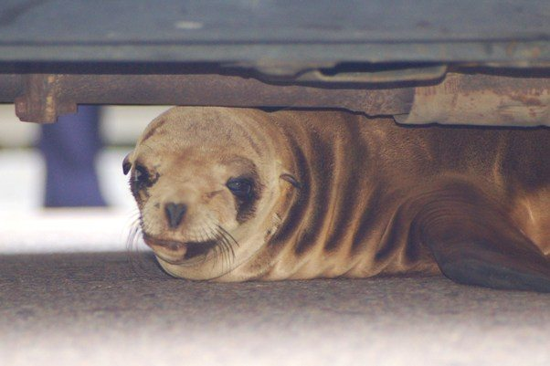 sea lion pup jg 5-5-10
