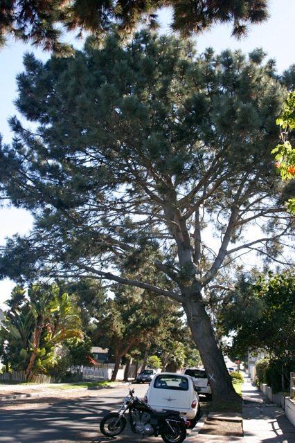 torrey pine js 01