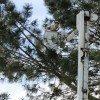 Torrey Pine trim 1-26-11 012-sm