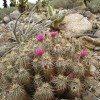 desert-flowers-062