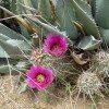 desert-flowers-081