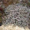desert-flowers-102