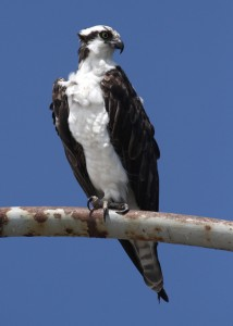 Male osprey on Sunset Cliffs Bridge