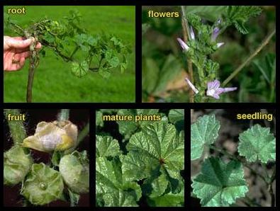 how to kill mallow weed