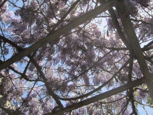 OB Wisteria Party 3-23-13 Wist01