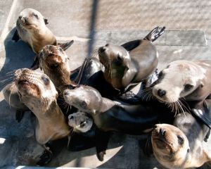 sea lion pups starvn