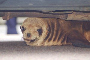 Post image for Why hundreds of starving sea lion pups are washing ashore in California.