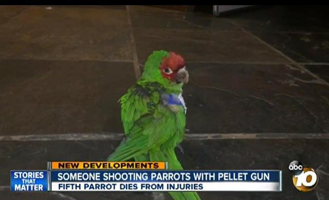 Parrot shot pellet 2-24-16