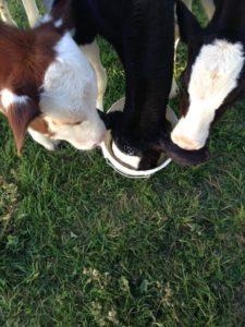 judi-curry-cowboy-cows