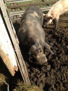 judi-curry-cowboy-hogs