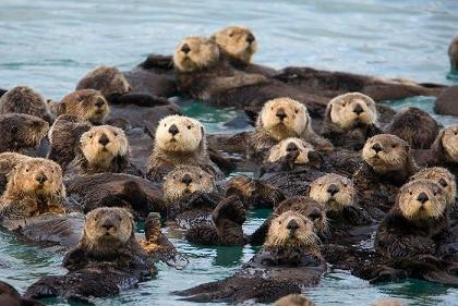 Post image for California Sea Otters Are Coming Back